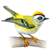 Firecrest Hand Drawn Bird Watercolor Colored Pencils