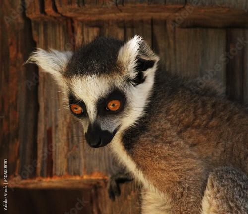 Fototapeta premium Lemur Portrait
