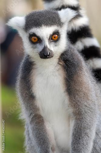 Fototapeta premium Close Up Portrait Of A Ring Tailed Lemur