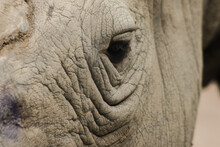 The Eyes Of White Rhinoceros Are Small.