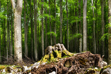 Beech Forest In The Summer Season. Tall, Straight Trunks And Shading Foliage In Which Some Sun Rays Filter. In The Foreground The Uprooted Stump Of A Beech. Alpago, Belluno, Italy