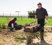 Hired Worker Transport Potatoes In A Garden Wheelbarrow On The Field