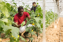African American Farmer Hand Harvesting Crop Of Ripe Cucumbers In Large Greenhouse In Springtime