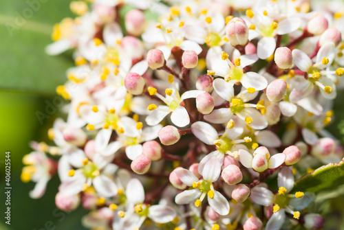 Closeup shot of skimmia japonica flowers Fototapet