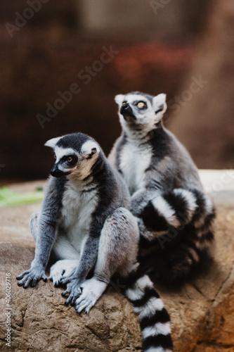 Fototapeta premium Closeup vertical shot of cute alert ring-tailed lemurs sitting on a tree log in a forest