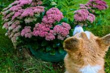 Welsh Corgi Pembroke Sits On Against Purple Flowers