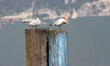 Closeup Shot Of Seagulls On A Log
