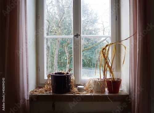 Fototapeta Water needed - dead dried plants withered on old window sill in an abandoned hou