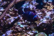 Big Old Perch Clownfish Amphiprion Ocellaris In Aquarium With Stones Around