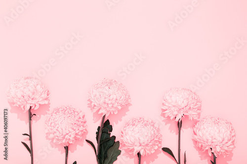 Buds of chrysanthemum on a pink background with copy space Fototapet