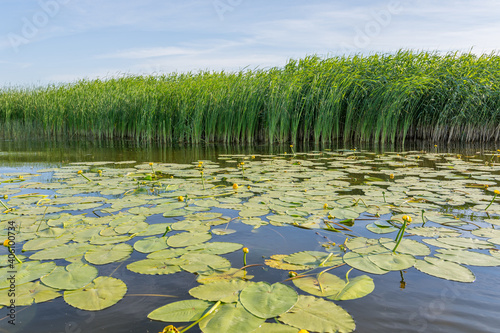 Fotografie, Obraz many water lilies on the lake against the background of green reeds and blue sky
