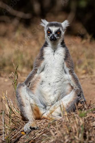 Fototapeta premium Ring Tailed Lemur Looking At Camera. Isalo National Park. Madagascar