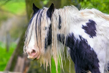 A Long-haired Gypsy Horse Peeps Through His Mane In A Field Near Market Harborough, Leicestershire, UK