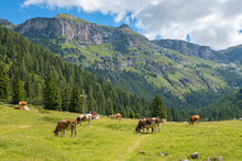 Beautiful Alp Valley With Grazing Cows
