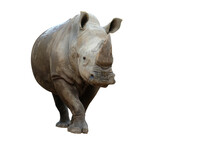 Action Of White Rhinoceros Isolated On Whited Background