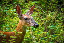 Deer And Wild Turkey Foraging In Field