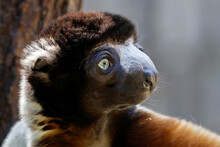 Closeup View Of Little Cute Crowned Sifaka Or Propithecus Coronatus