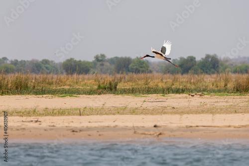 Fototapeta premium Crane Flying Over A Land