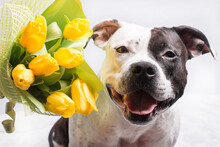 Black And White Dog With A Bouquet Of Yellow Tulips. Four Legged Faithful Friend Of Man Congratulations On March 8 Valentine's Day