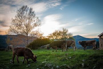 Vacas descansando durante la puesta de sol después de la lluvia en un paisaje alpino de los pirineos