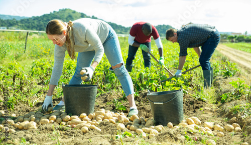 Photo Group of people gathering crop of early potatoes on farm field