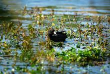 American Coot Bird (Fulica Americana) Swimming In Lake