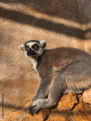 Fototapeta premium Vertical shot of a ring-tailed lemur against a wall in a zoo under the sunlight