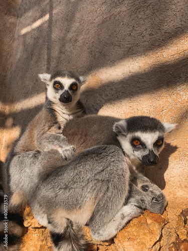 Fototapeta premium Vertical shot of ring-tailed lemurs against a wall in a zoo under the sunlight
