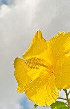 Front View, Close Distance Of A Yellow Hibiscus Bloom With The Central Appendage, Prepared To Give Up Pollen, With A Cloudy, Bright Sky