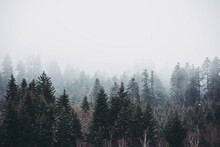 Hundreds Of Pine Trees Captured In A Forest Hidden In The Fog