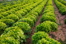 Closeup Of Green Lettuce Plantation In Organic Vegetable Farm. Harvest Time