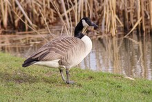 Side View Of A Canada  Goose On The Side Of A Lake