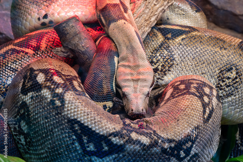 Papel de parede Close Up Of A Boa Constrictor Sleeping