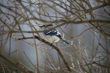 Blue Jay Through Branches
