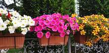 Colorful Petunia Or Begonia Flowers Blooming In A Row In Pots.