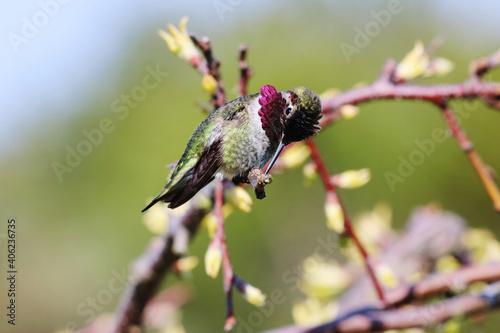 Fototapeta premium Hummingbird Perching On A Tree Branch In Early Spring , Closeup