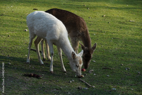 Fototapeta premium Close-up To White And Brown Deer Grazing On Grass Area