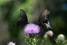 Butterfly 2020-49 / Pipevine Swallowtails (Battus Philenor)
