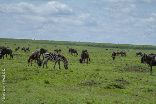 Fototapeta premium Zebra And Wildebeest Grazing In A Green Field On The Maasai Mara In Kenya.