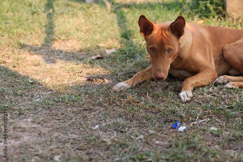 Fototapeta premium Portrait Of Dog On Field