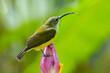 canvas print picture - nature wildlife footage of Little bird on banana flower.Little spiderhunter( Arachnothera longirostra )is drinking nectar from Banana flower
