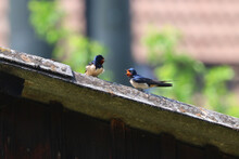 Barn Swallows Perching On Roof