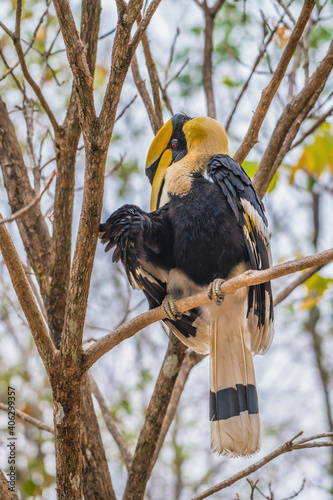 Fototapeta premium Great hornbill on branch in nature