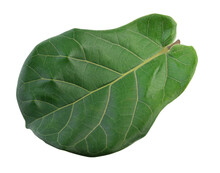 Fiddle Fig Leaves Green On White Background.