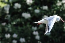 Black-headed Gull Flying In The Sky