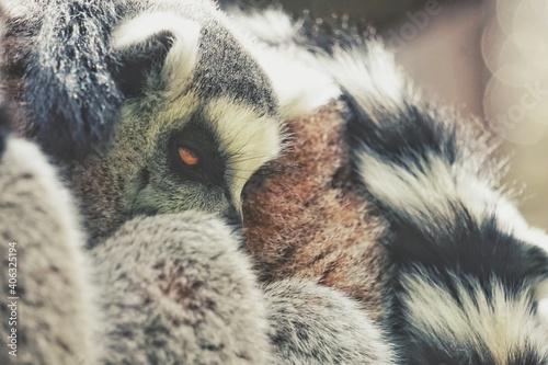 Fototapeta premium Close Up Of Lemurs