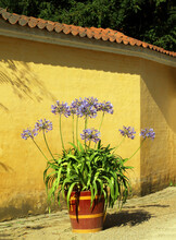 Agapanthus (lily Of The Nile Or African Lily) Flower Blooming In Summer. Herbaceous Perennials, Family Amaryllidaceae. Flowers - Of Blue To Purple, To White. In A Wooden Pot.
