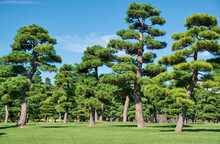 The Japanese Black Pines Planted On The Green Lawn Area Of Kokyo Gaien National Garden. Tokyo. Japan