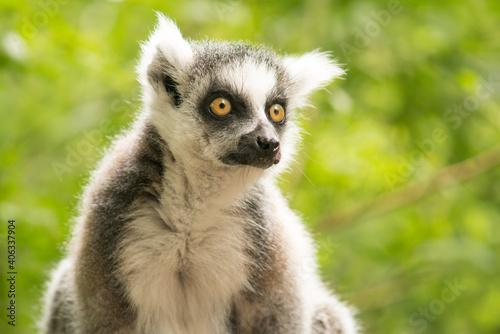 Fototapeta premium Portrait Of A Ring-tailed Lemur Looking Away