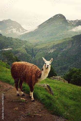 Fototapeta premium Llama Standing On Mountain Fjords At Norway